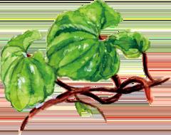 和漢植物サンヤクのイラスト