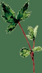 和漢植物トウキのイラスト