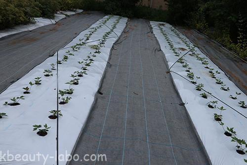 トウキ苗栽培
